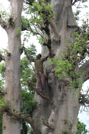 A man collecting leaves from a baobab tree in Burkina Faso. Baobab fruit is rich in many vitamins and minerals.