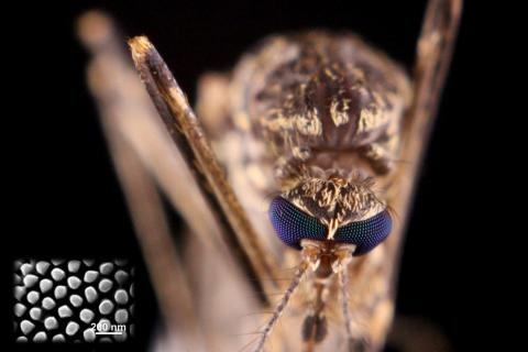A closeup view of a mosquito's eyes