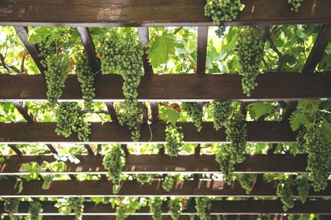 Green grapes ready for harvest