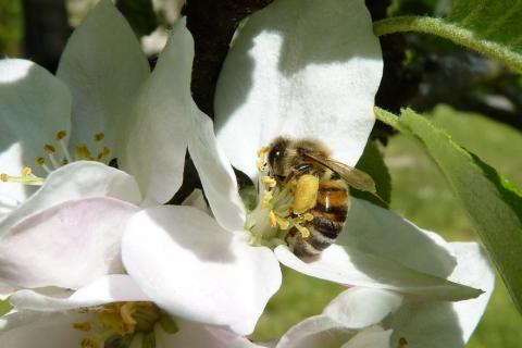 """Honey bees have a """"goldilocks"""" range of summer weather conditions that raises their probability of winter survival"""