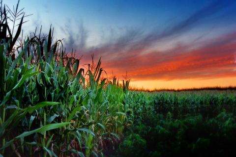 Sunset over a northern Illinois cornfield