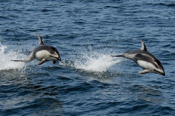 Dolphins are seen jumping in the ocean