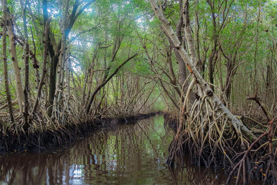 Mangroves in the Everglades National Park tidal wetlands.